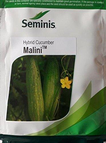 Malini(मालिनी)- 800 seeds