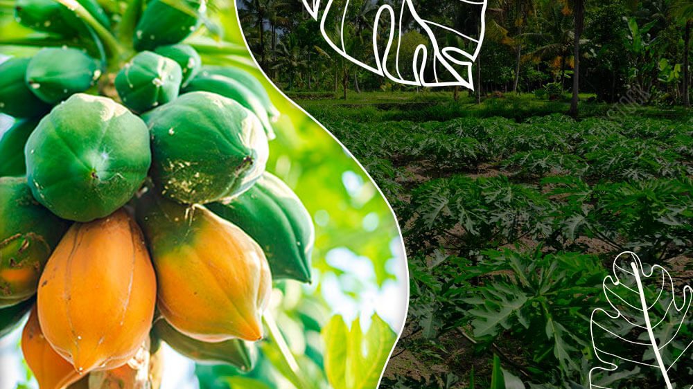 How To Do Papaya Farming? Everything You Need to Know