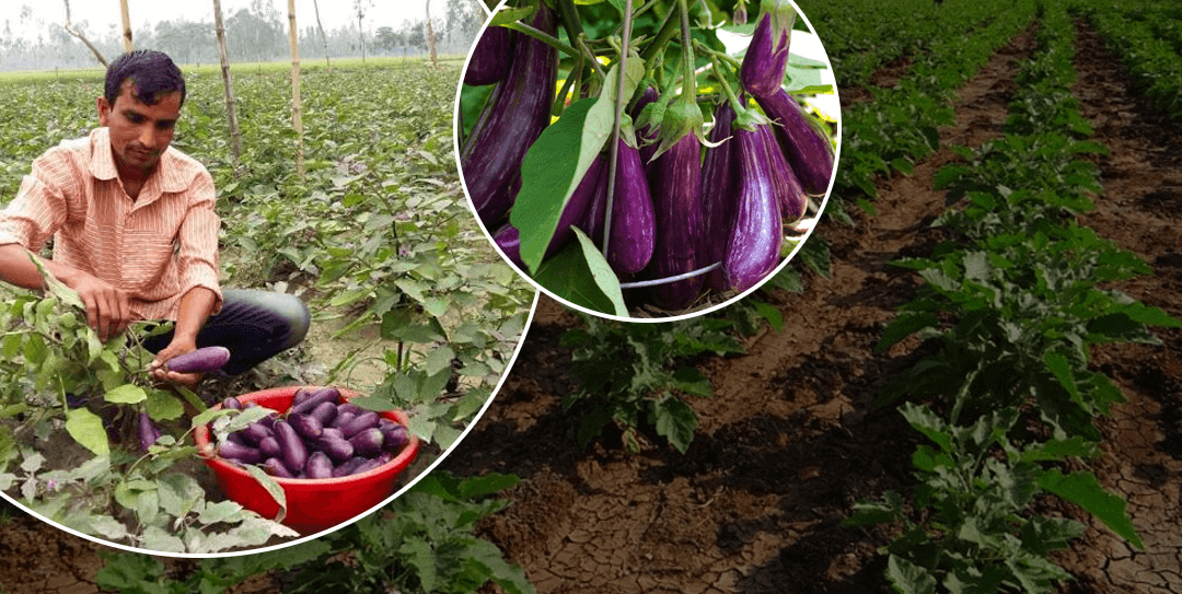 5 Things You Should Know About Brinjal Farming In India