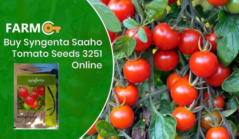Buy Syngenta Tomato Saaho 3251 Seeds Online