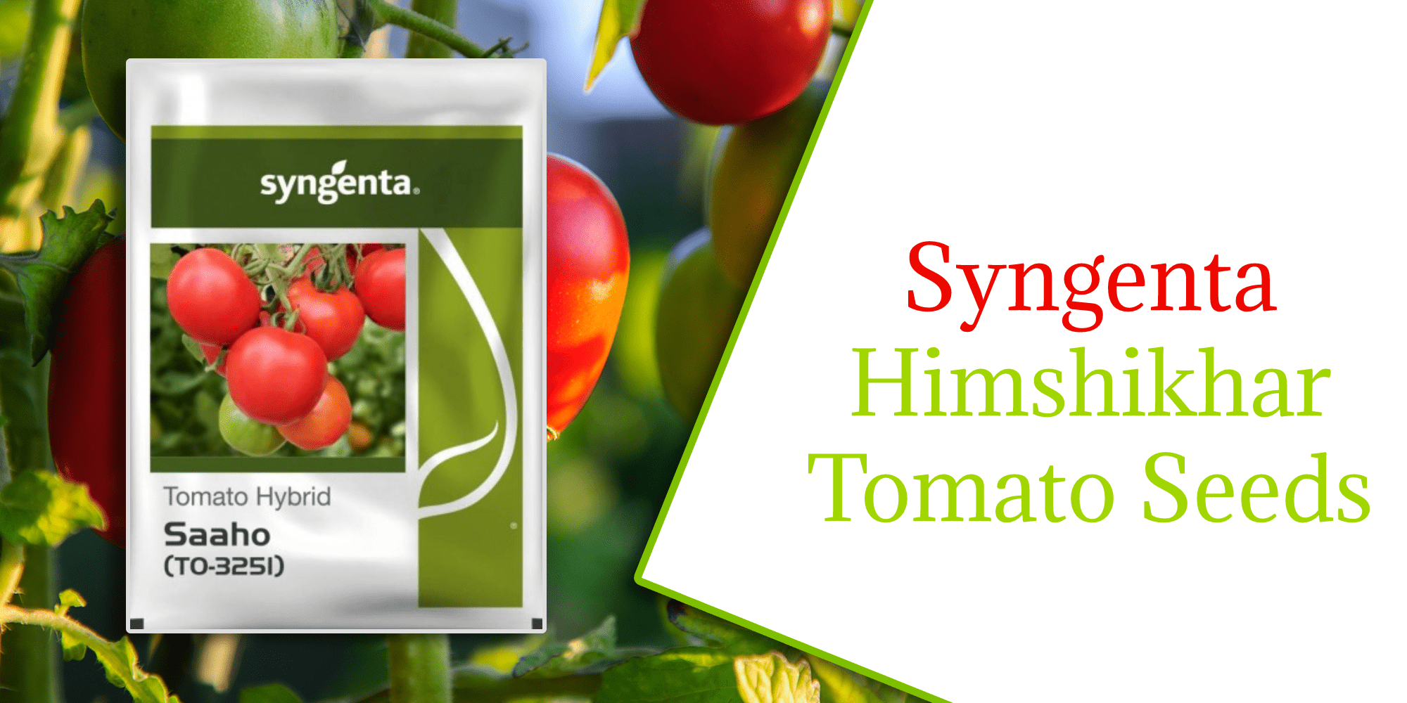 Make Great Yield For Tomatoes With Syngenta Himshikhar Seeds
