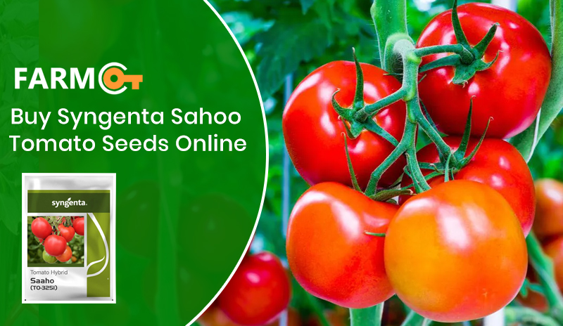 Where to Buy Syngenta Sahoo tomato seeds online in India?