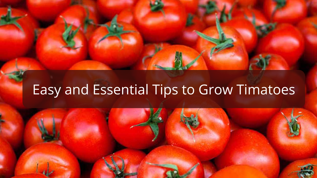 Easy and Essential Tips to Grow Tomatoes