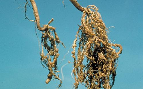 KNOW ROOT-KNOT NEMATODES IN VEGETABLES- FARMKEY