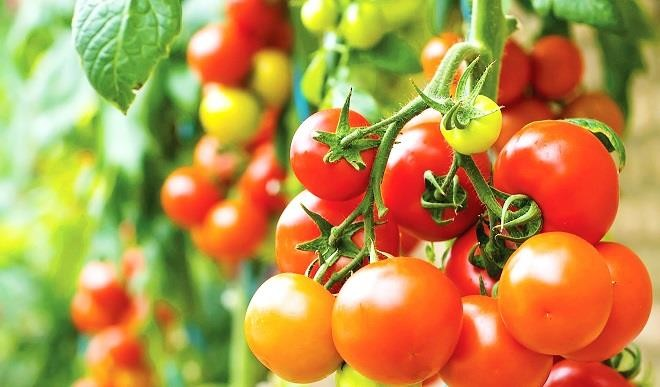 TOMATO CULTIVATION- BEST PRACTICES