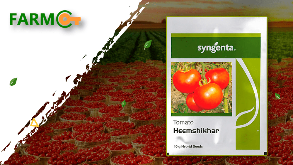 Give Your Tomatoes Filed The Power Of Syngenta Heemshikhar Seeds
