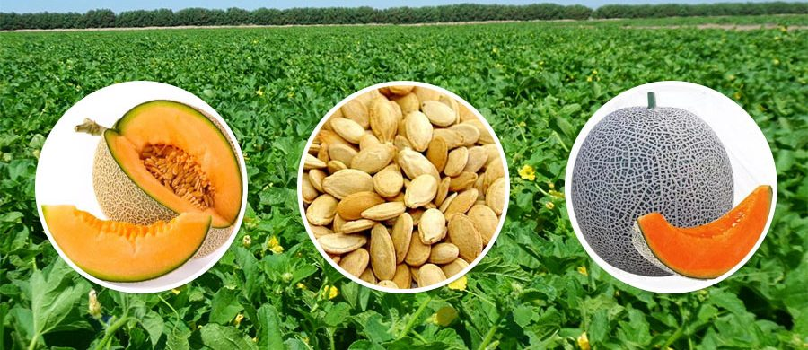 GROW MUSKMELON WITH THE BEST SEEDS FROM FARM KEY