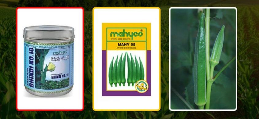 GROW OKRA OF BEST QUALITY AND MAKE YOUR HARVEST HUGELY PROFITABLE