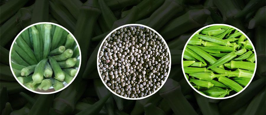 GROW THE BEST OKRA TO GET THE HIGHEST PRICE IN MARKET