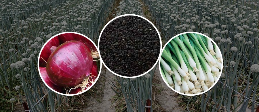GROW ONION AND MAKE YOUR FIELD REAP PROFITS WITH FARM KEY